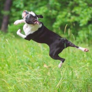 8 Weird Things Boston Terriers Do