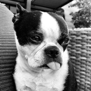 Zara Jersey's Boston Terrier Memorial