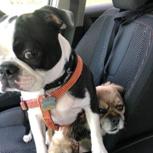 Boston Terrier with friend