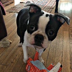 Baby Boston Terrier Boy
