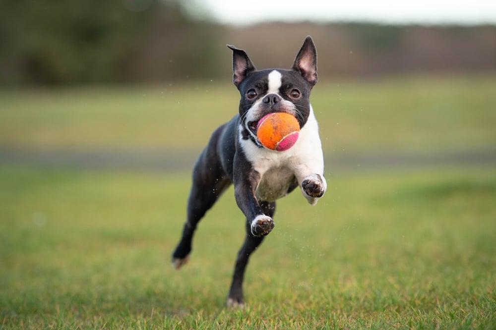 Best Boston Terrier Toys