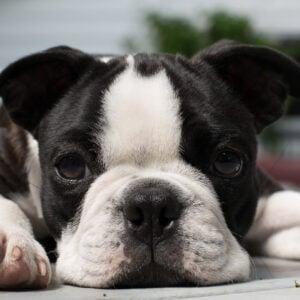 Boston Terrier Rash Advice: How To Help Your Dog!