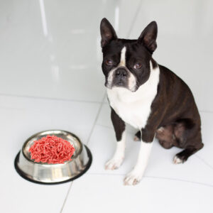 Can Boston Terriers Eat Beef? What You Need To Know!