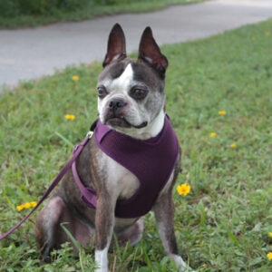 Boston Terrier memorial female