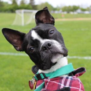 Boston Terrier Memorial