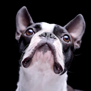 Boston Terrier Snort